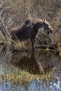 The-Great-Tetons-Baby-Moose