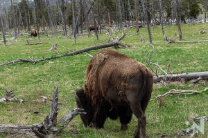 Yellowstone-National_Park-Bison-Butt